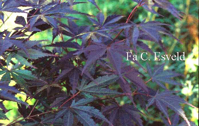Acer shirasawanum 'Momiji-gasa'