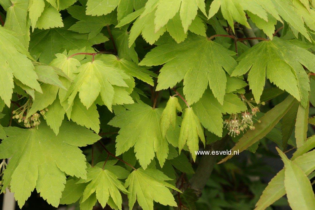 Acer sieboldianum 'Katsura-gisan'
