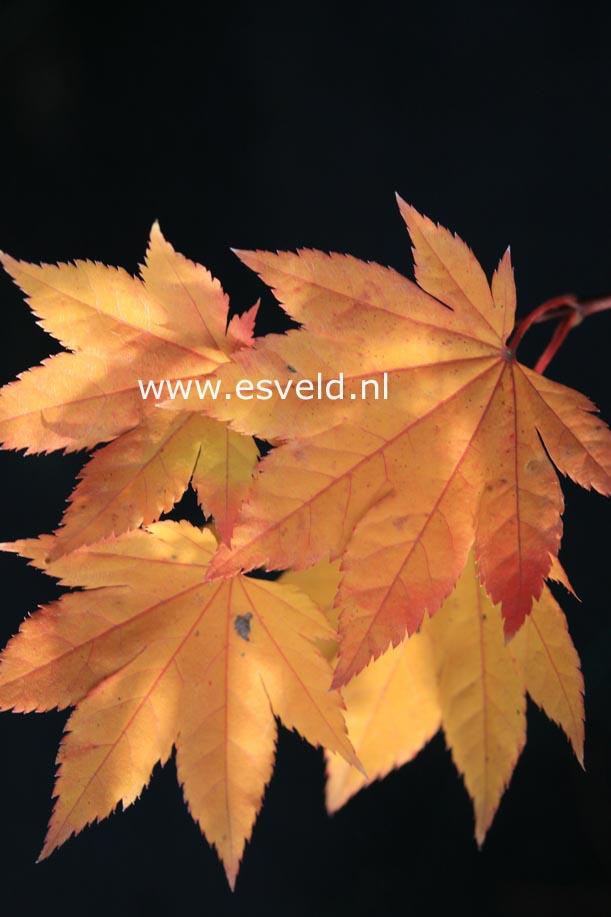 Acer sieboldianum 'Kinu-gasa-yama'