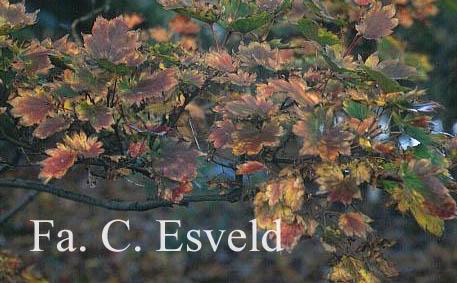 Acer sieboldianum 'Mi-yama-nishiki'
