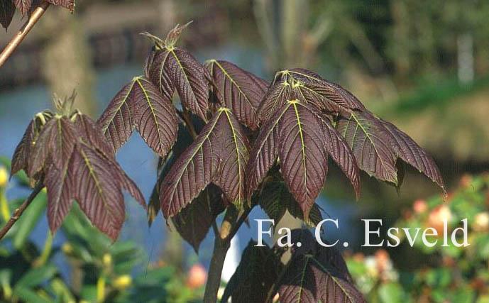 Acer sterculiaceum ssp. thomsonii