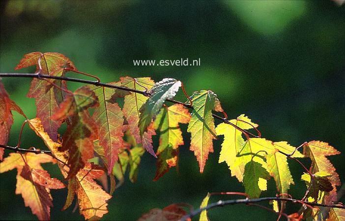 Acer tataricum 'Fire'