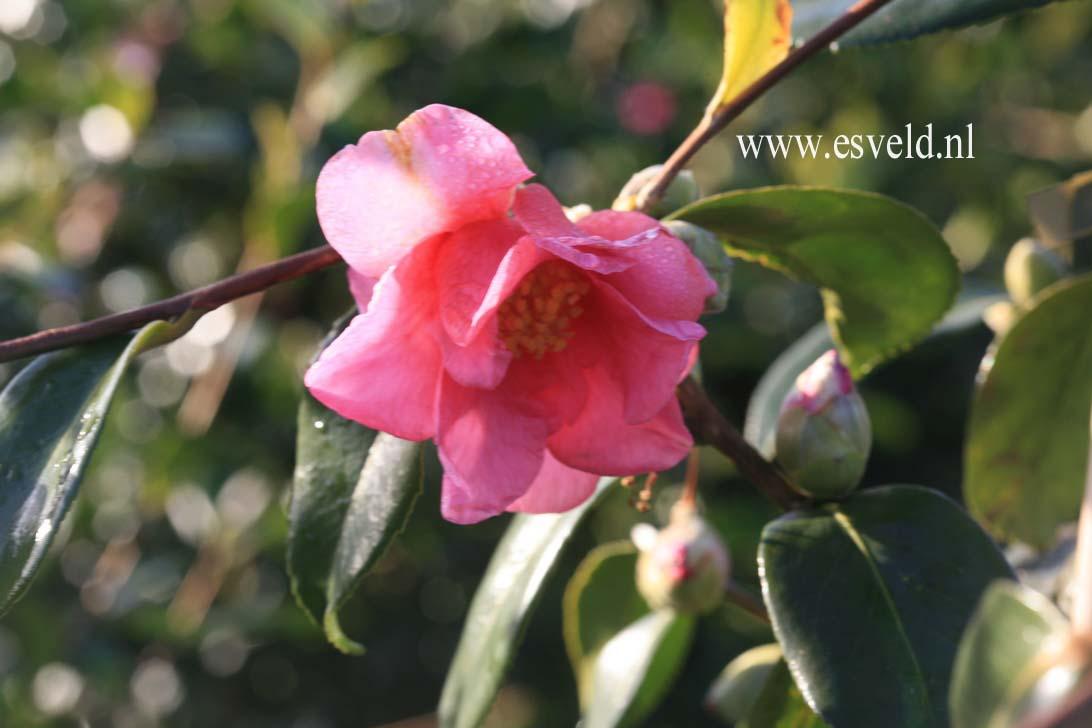 Camellia 'Winter's Fire'
