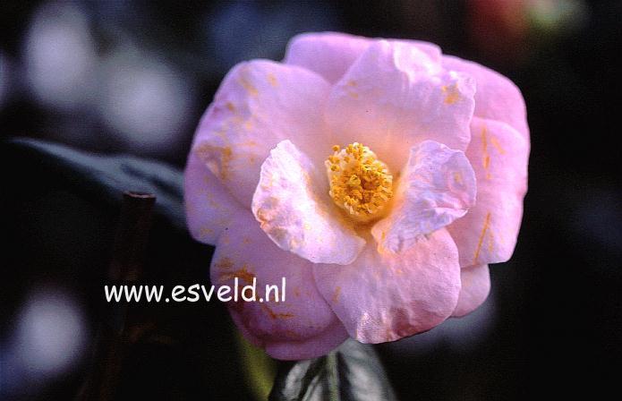 Camellia japonica 'Berenice Boddy'