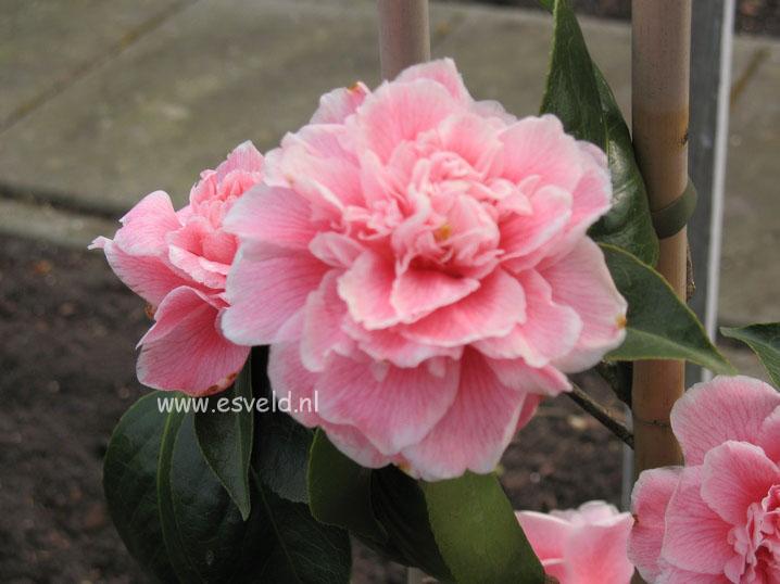 Camellia japonica 'Dorothy James'