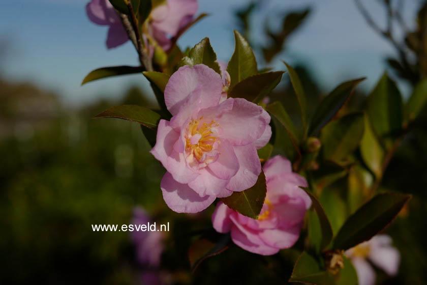 Camellia japonica 'Fiori di Lago Maggiore'