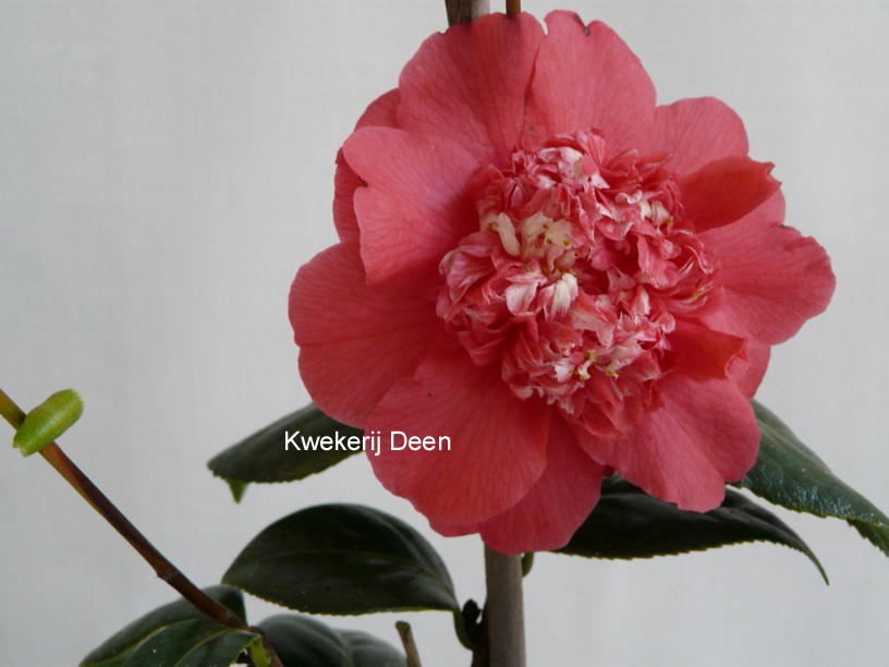 Camellia japonica 'Fire 'n Ice'