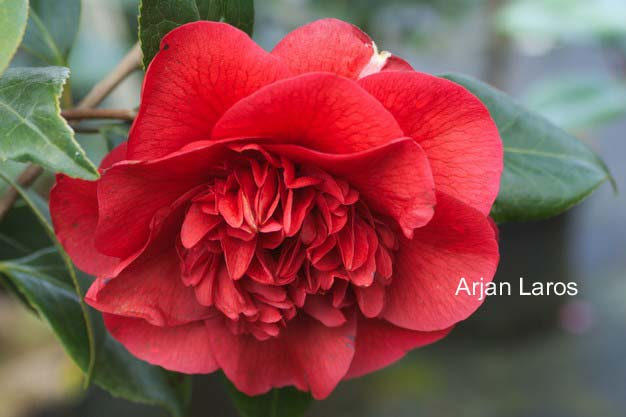 Camellia japonica 'John Tooby'