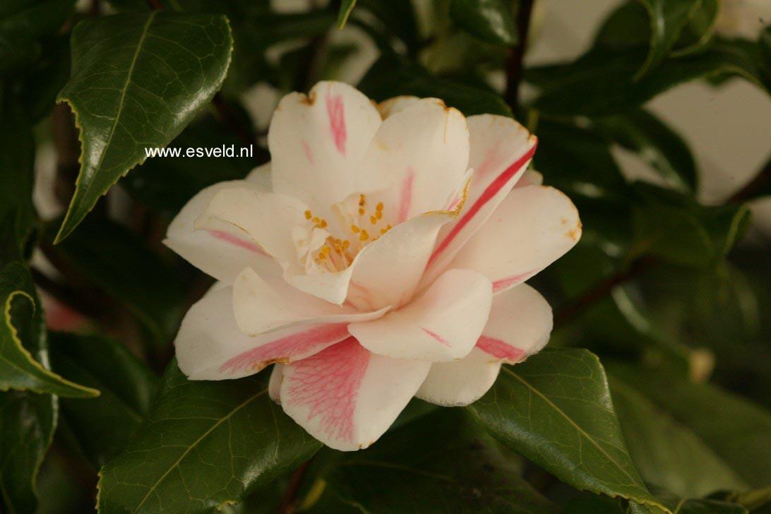 Camellia japonica 'Lady Vansittart'