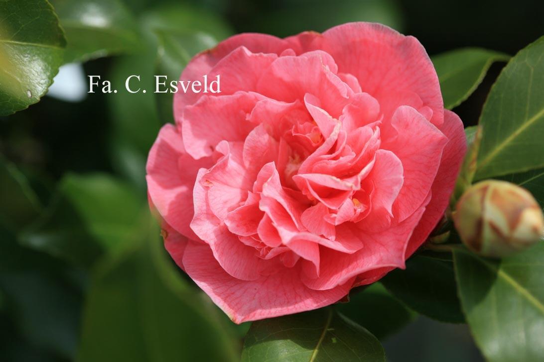 Camellia japonica 'Marie Bracey'