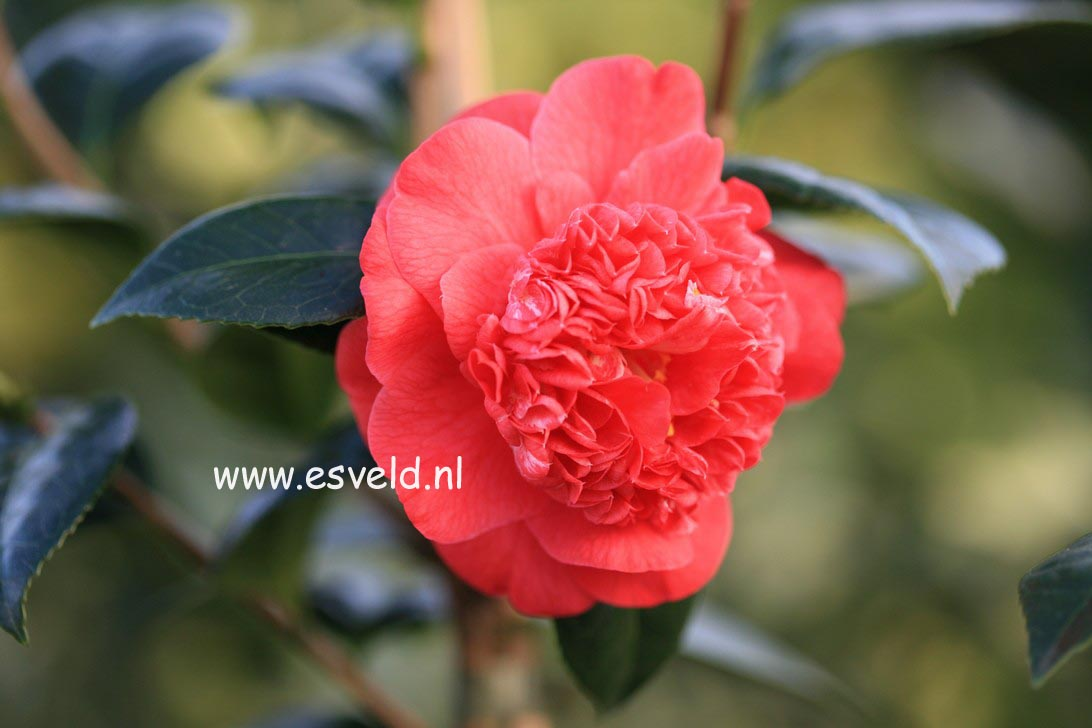 Camellia japonica 'Red Fellow'