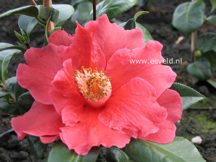 Camellia japonica 'Royalty'