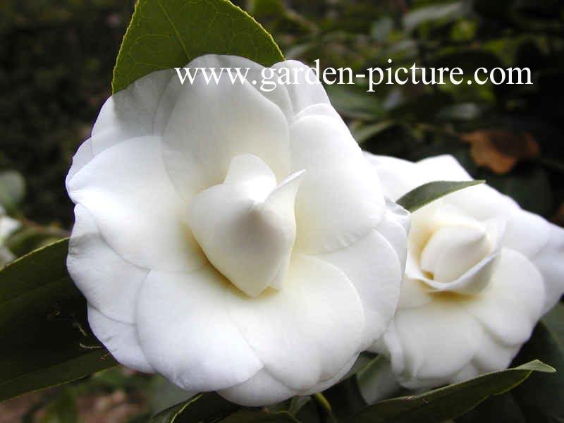 Camellia japonica 'Shiragiku'