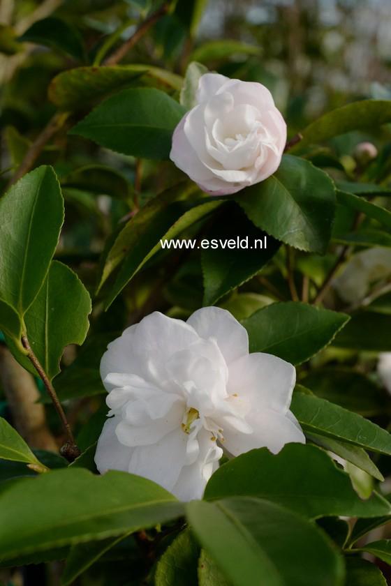 Camellia lutchuensis 'Ito Hybride'