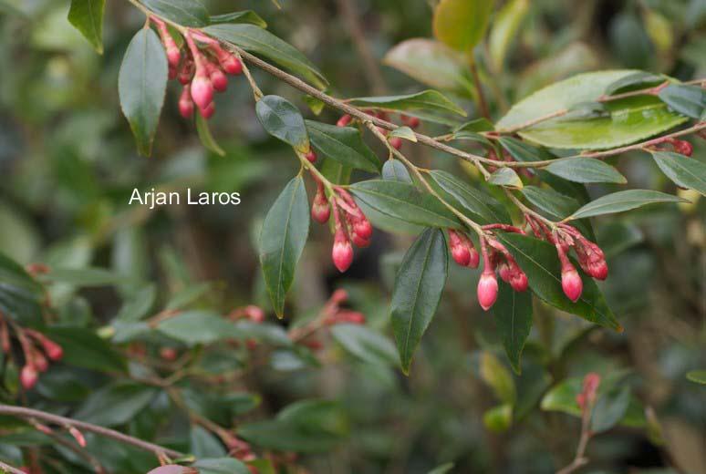 Camellia rosthorniana 'Elina' (CUPIDO)