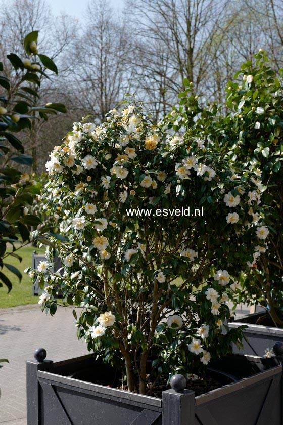 Camellia rusticana 'Mizu-yoshi'
