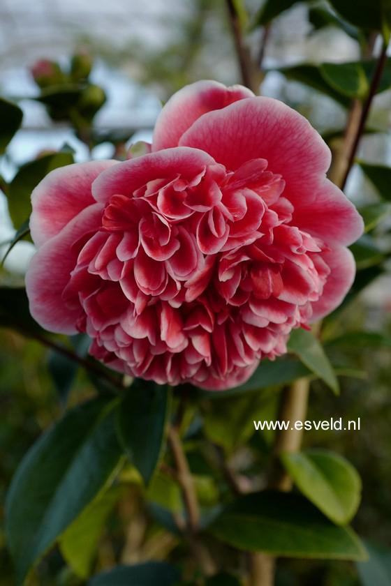 Camellia williamsii 'Volunteer'