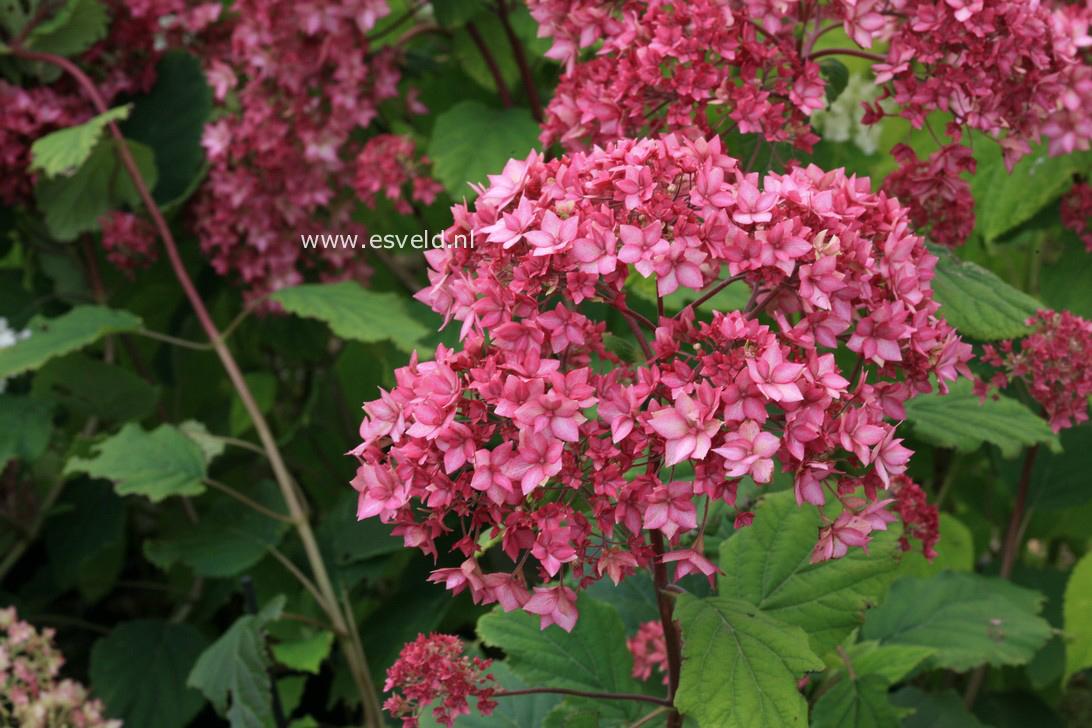 Hydrangea arborescens 'Bella Anna' (ENDLESS SUMMER)