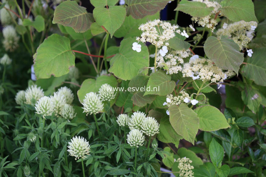 Hydrangea aspera 'Elegant White'