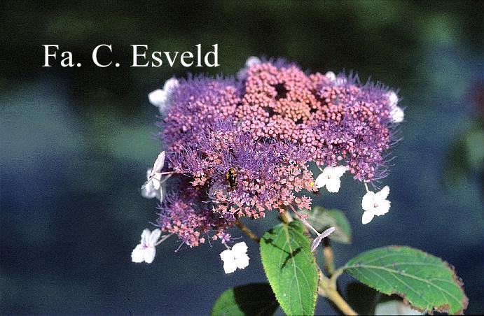 Hydrangea aspera 'Rowallane'