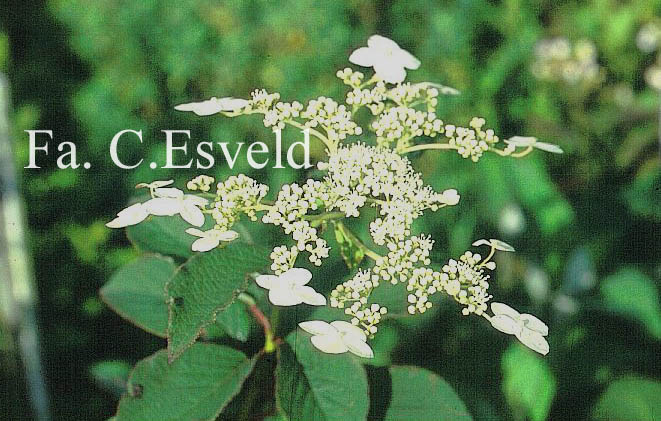 Hydrangea heteromalla 'Bellevue'