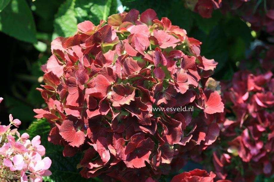 Hydrangea macrophylla 'Andriesia'