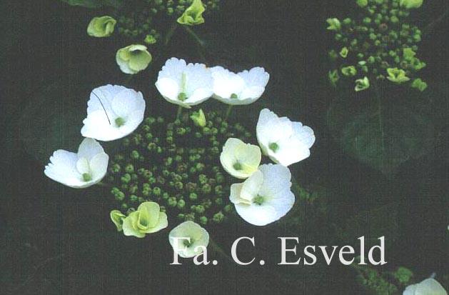 Hydrangea macrophylla 'Bachstelze'