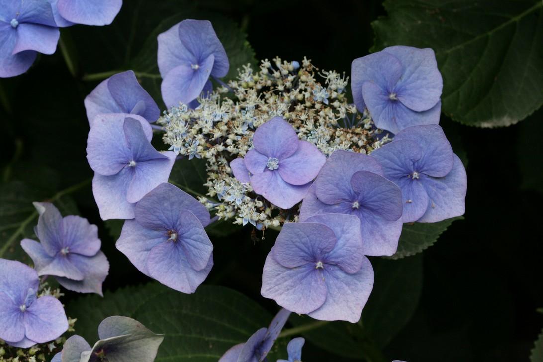 Hydrangea macrophylla 'Blaumeise' (syn.'Blue Sky')