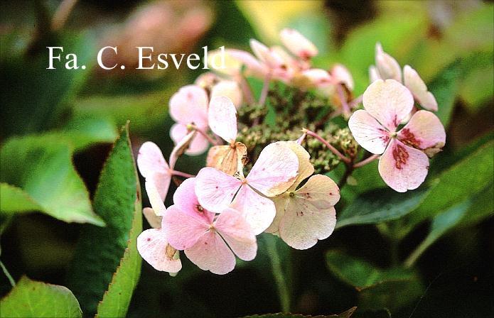 Hydrangea macrophylla 'Bläuling'