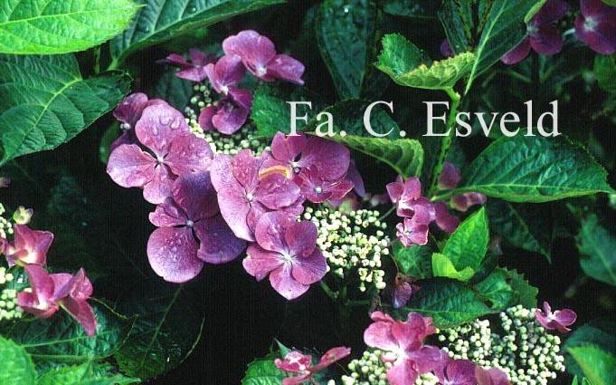 Hydrangea macrophylla 'Buntspecht'