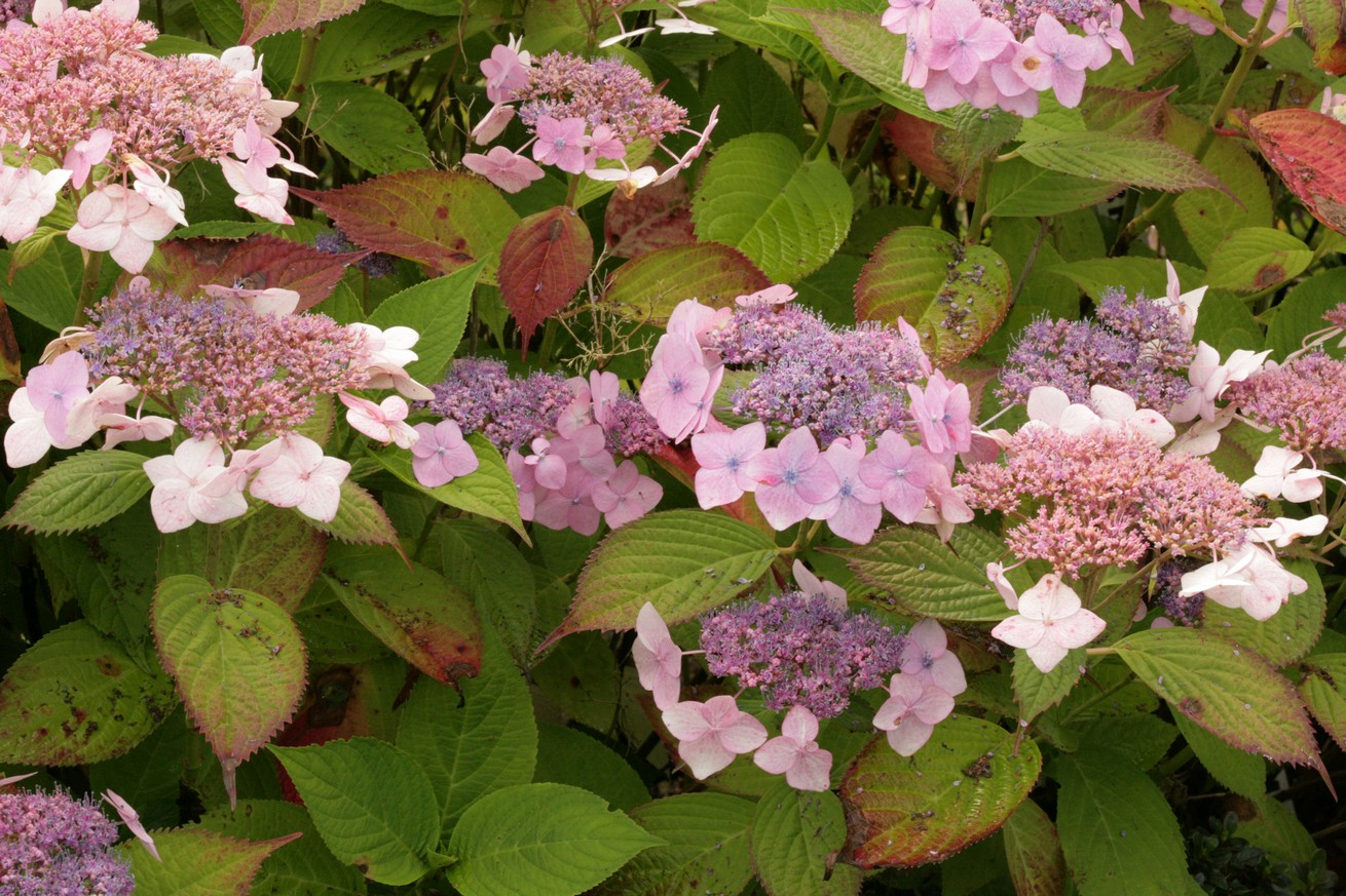 Hydrangea macrophylla 'Dart's Romance'