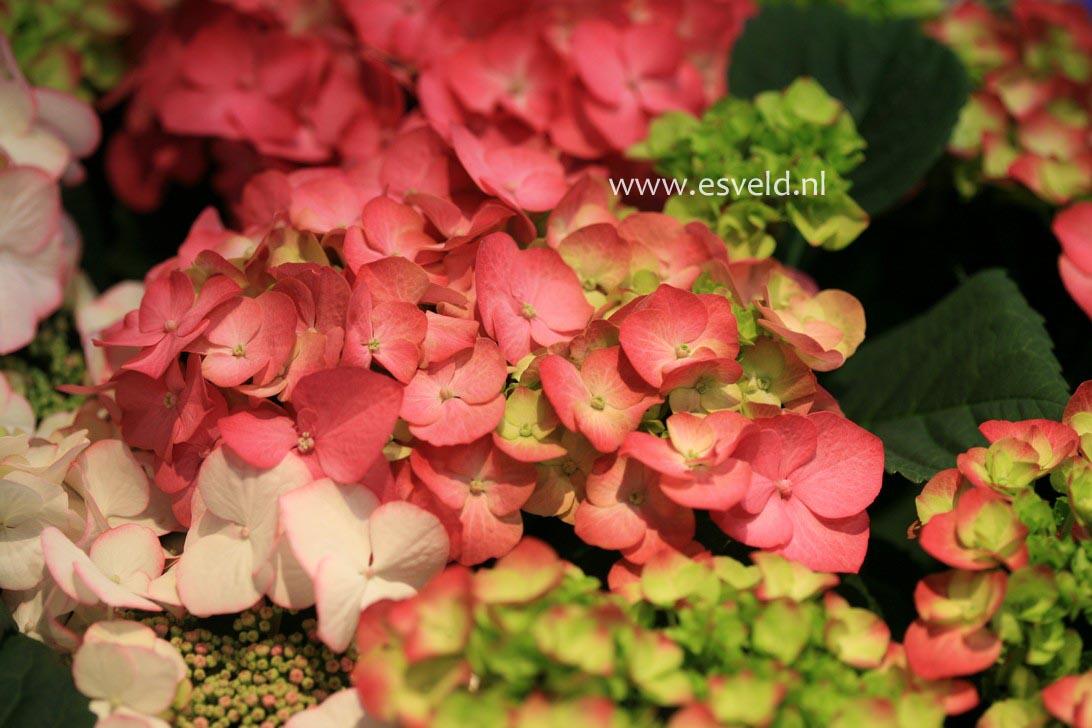 Hydrangea macrophylla 'Duro'