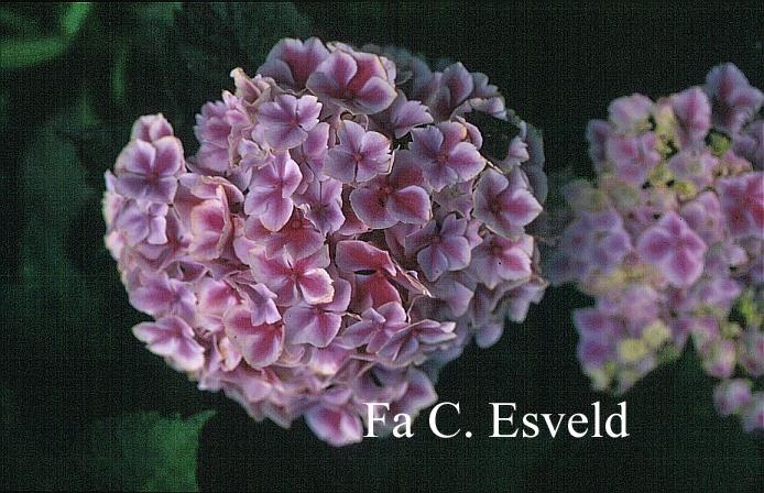 Hydrangea macrophylla 'Frau Taiko' (LADY TAIKO)