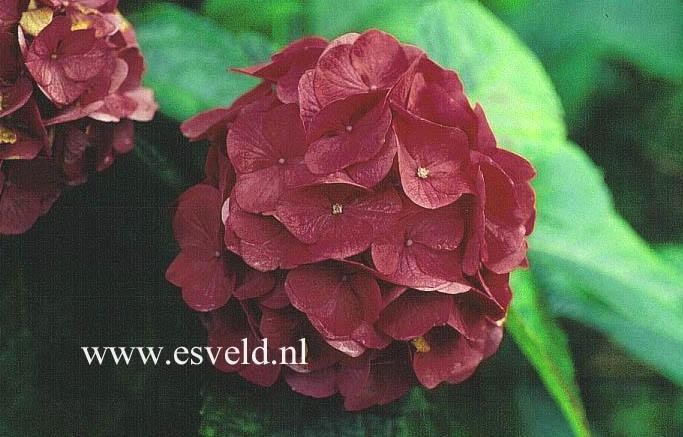 Hydrangea macrophylla 'Glärnisch'