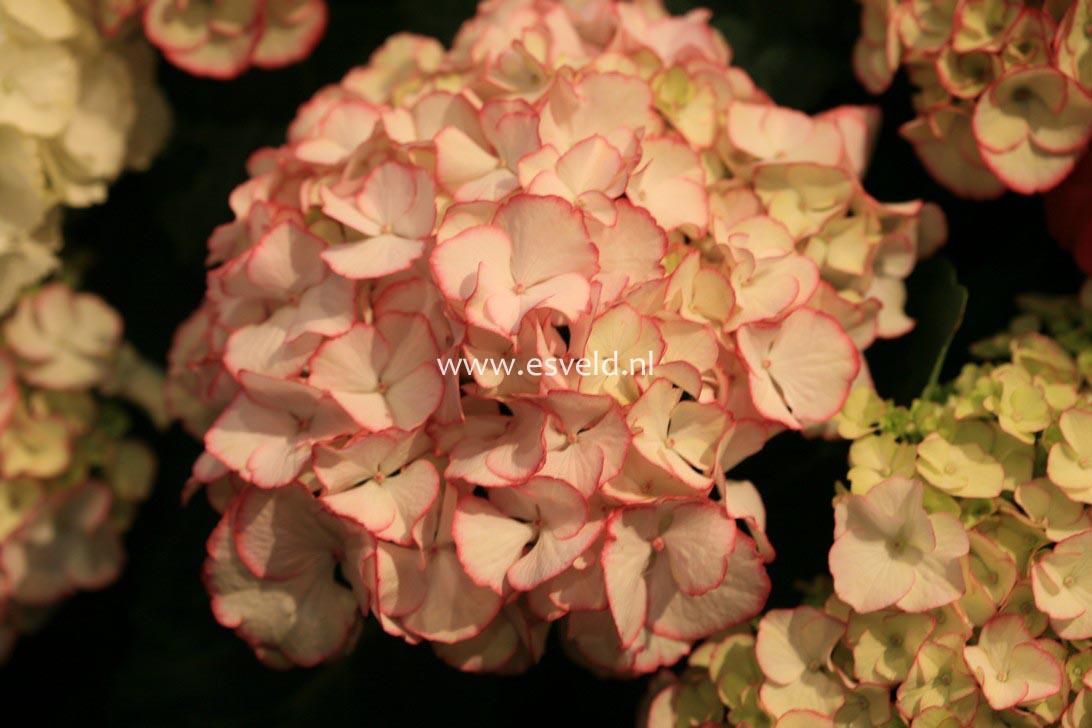 Hydrangea macrophylla 'HBACHI' (CHIQUE)
