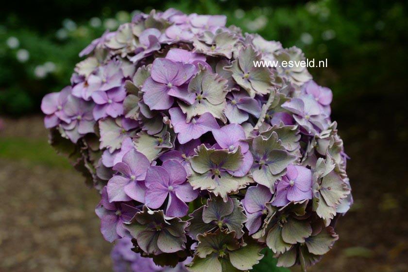 Hydrangea macrophylla 'Heinrich Seidel'