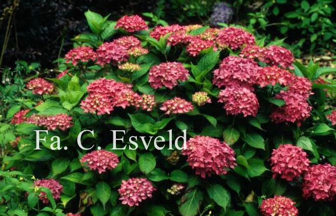 Hydrangea macrophylla 'Hoernli'