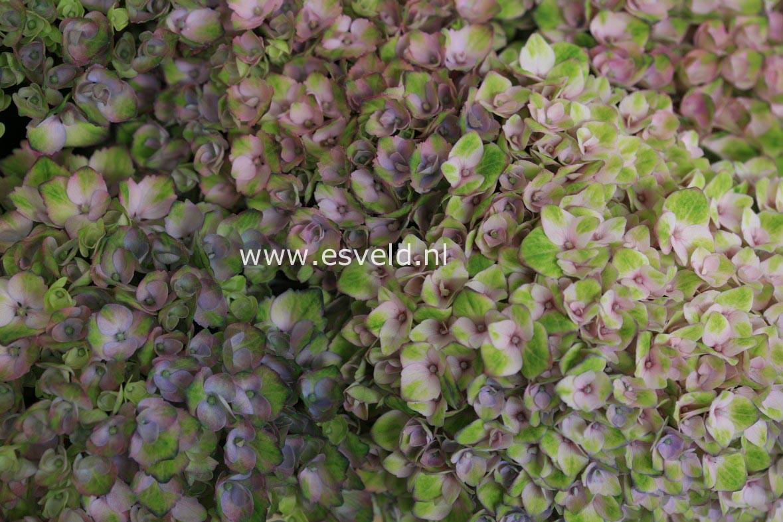 Hydrangea macrophylla 'Hokomarevo' (MAGICAL REVOLUTION)