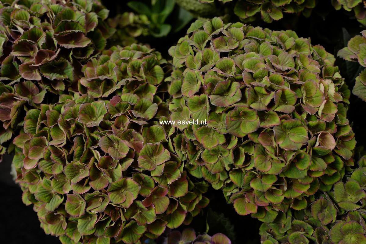 Hydrangea macrophylla 'Hokomathyst' (MAGICAL AMETHYST)