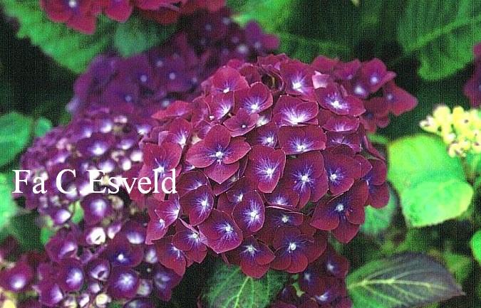 Hydrangea macrophylla 'Holehird Purple'