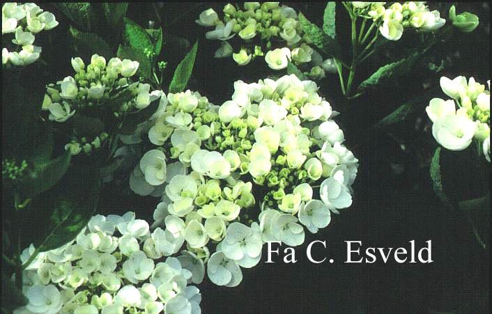 Hydrangea macrophylla 'Holibel' (HOVARIA)