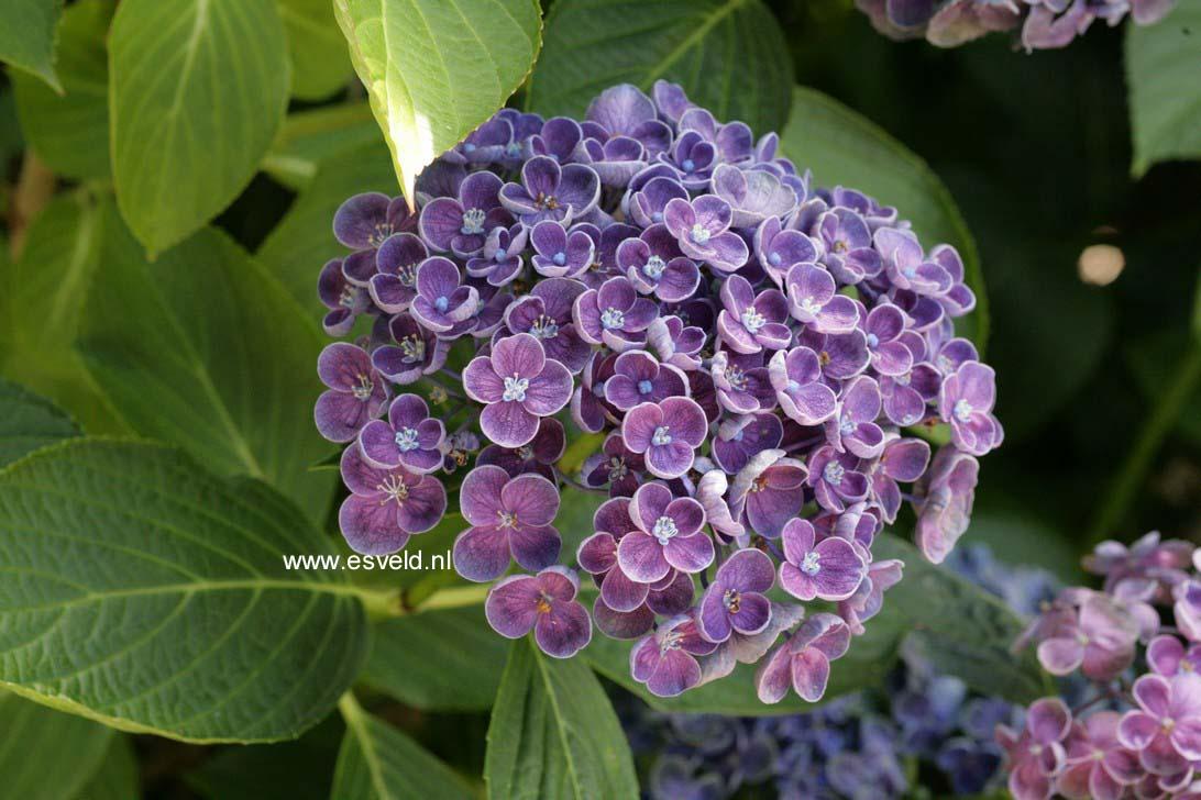 Hydrangea macrophylla 'Hopcorn' (HOVARIA)