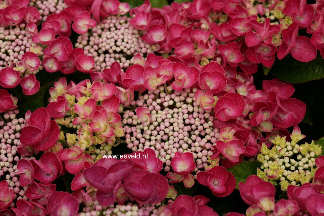 Hydrangea macrophylla 'Jixi'