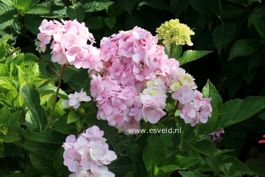 Hydrangea macrophylla 'Juhni hito e'