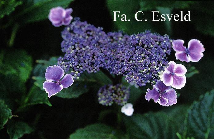 Hydrangea macrophylla 'Komochiana sezuka'