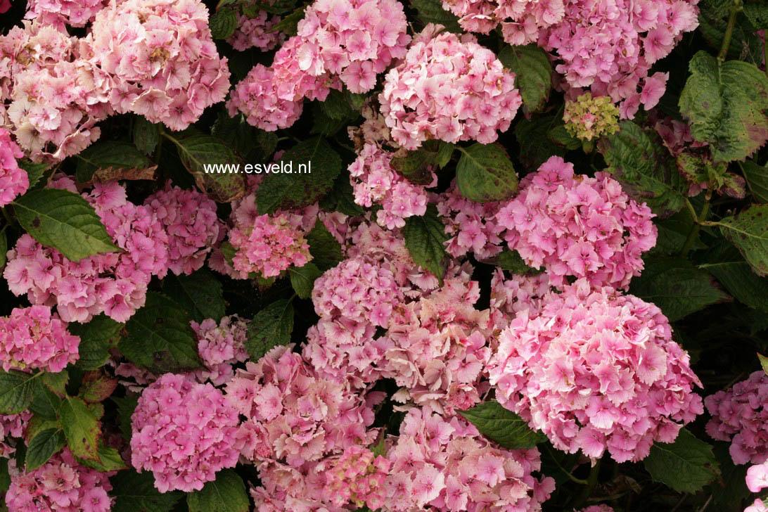 Hydrangea macrophylla 'Lancelot'