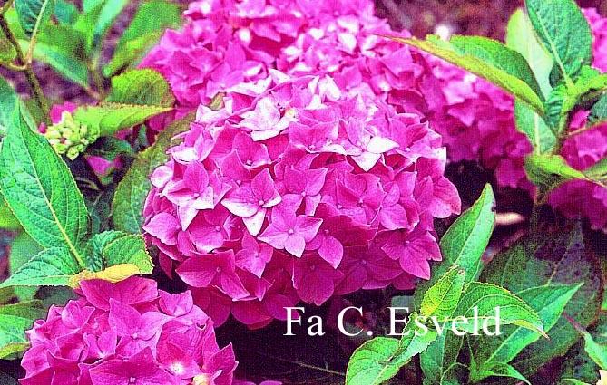 Hydrangea macrophylla 'Lausanne'