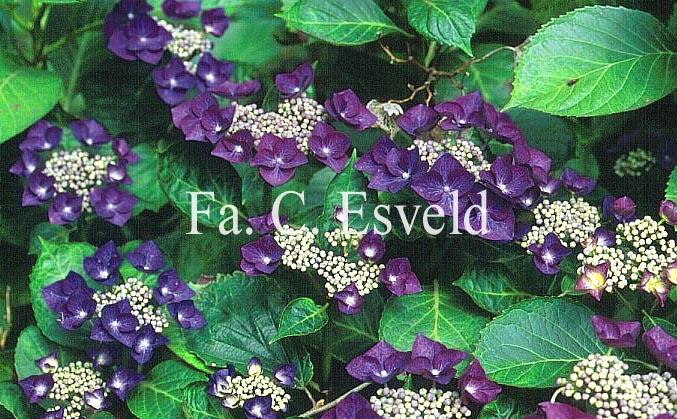 Hydrangea macrophylla 'Nachtigall'