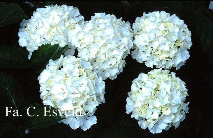 Hydrangea macrophylla 'Neuf'