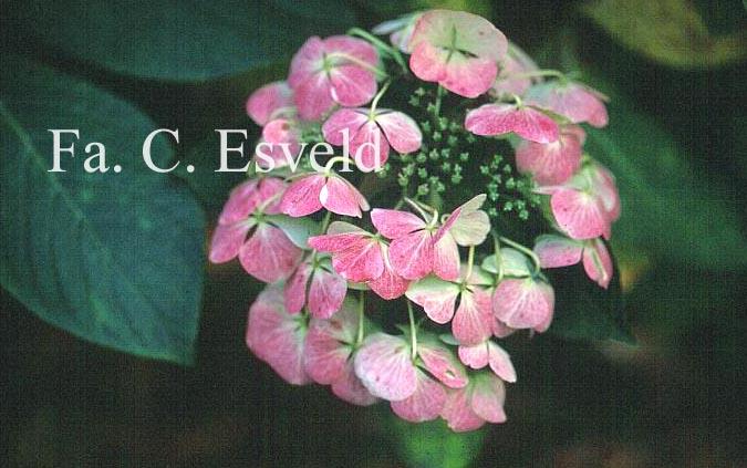 Hydrangea macrophylla 'Papagei'